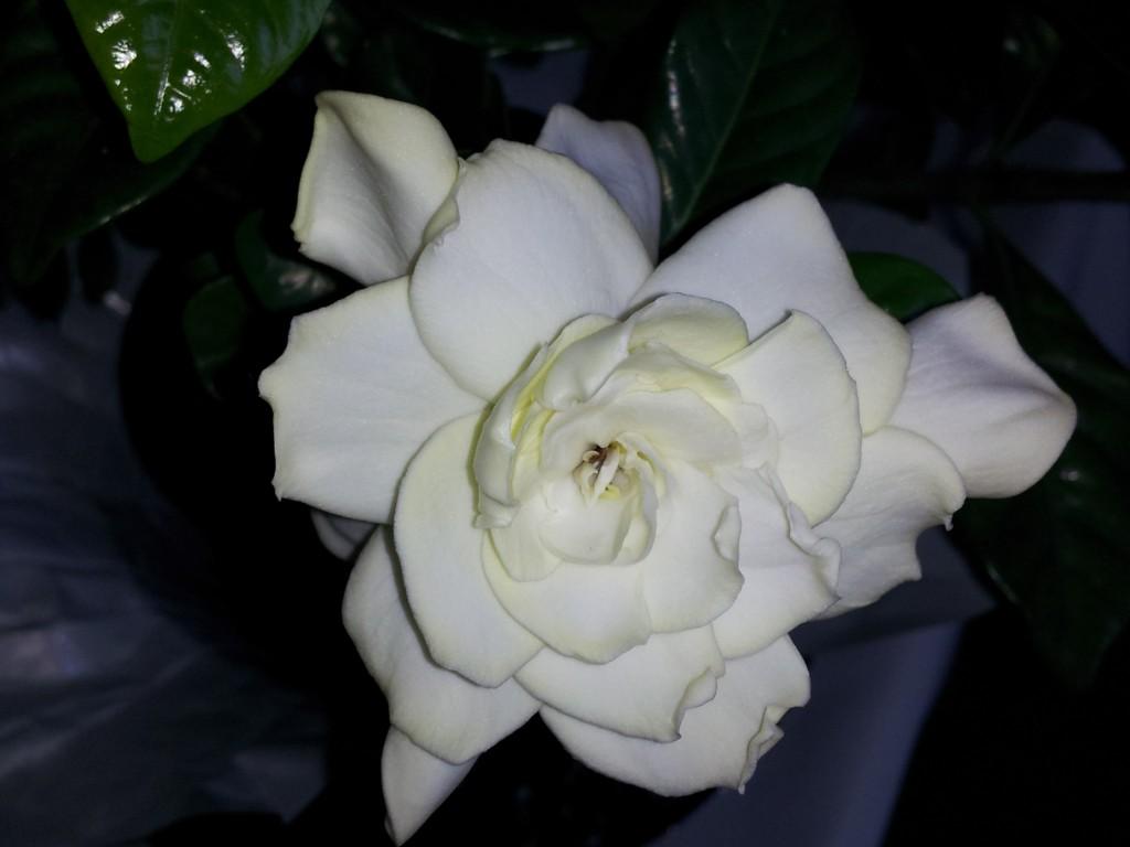One Gardenia