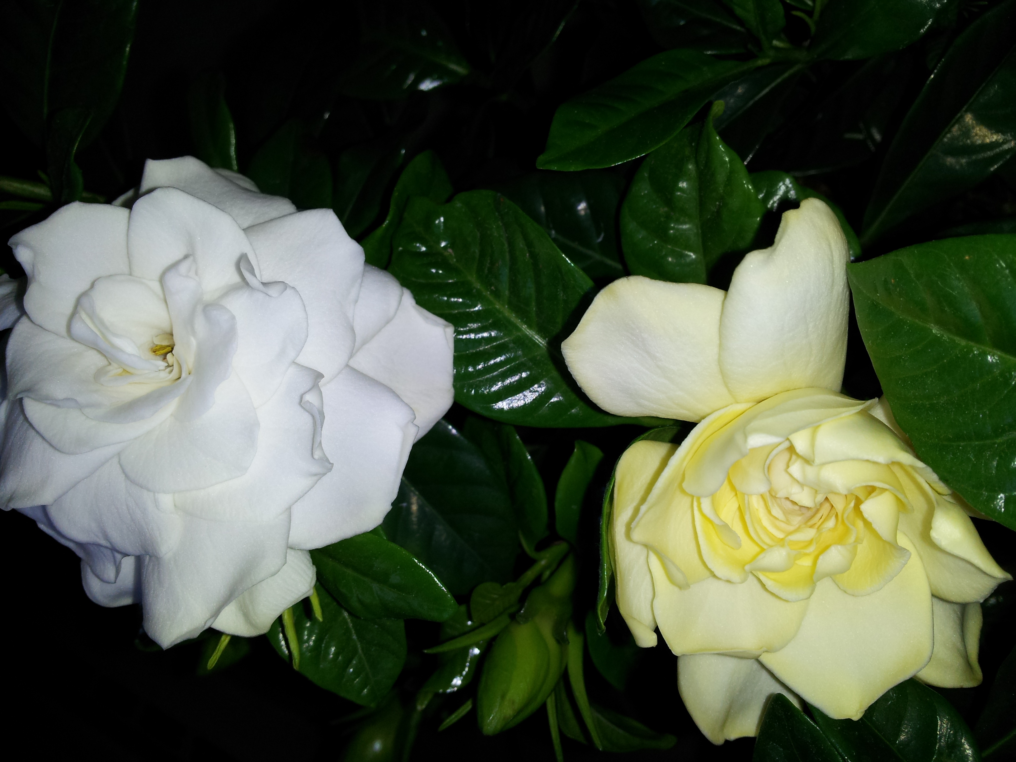 in love with gardenias  joanne jamis cain, Natural flower