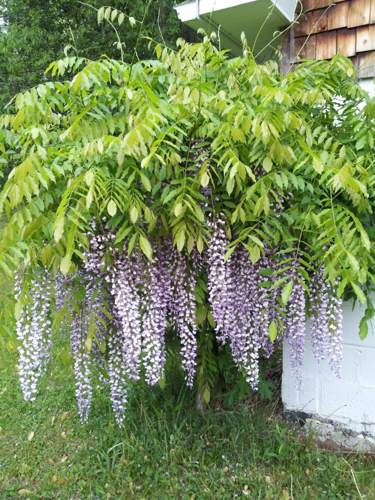 Jim's Wisteria- just beautiful